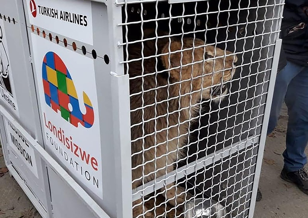 Intradco and Turkish Cargo team up to help on lion rescue