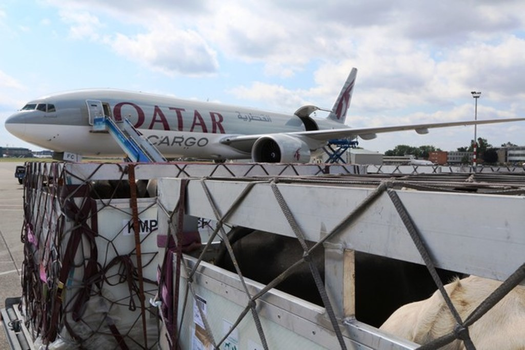 Qatar Cargo confirms cattle charters