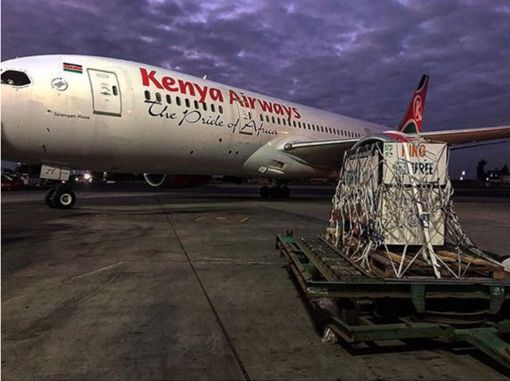 Kenya Airways Helps Rehome Mistreated Pet Lion Cub ǀ Air Cargo News